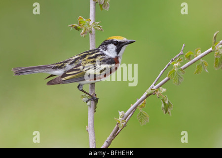 A Chestnut-sided Warbler (Dendroica pensylvanica) perched on a branch at the Carden Alvar in Ontario, Canada. - Stock Photo