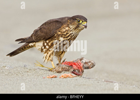Merlin (Falco columbarius) perched on the beach feeding on a shorebird in Washington, USA. - Stock Photo