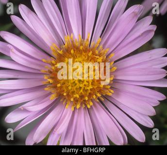 Michaelmas daisy (Aster novi-belgii) a typical composite daisy flower - Stock Photo