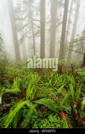 Forest along Damnation Creek Trail in Del Norte Coast Redwoods State park - Stock Photo