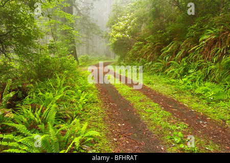 Old forest road running through the towering redwood trees of Del Norte Coast Redwoods State Park - Stock Photo