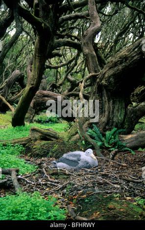 Southern giant petrel (Macronectes giganteus) nestling, rata forest, Enderby Island, , Subantarctic New Zealand - Stock Photo