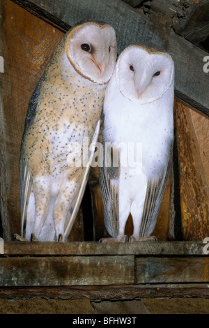 Courting adult barn owls (Typto alba), southern British Columbia, Canada - Stock Photo