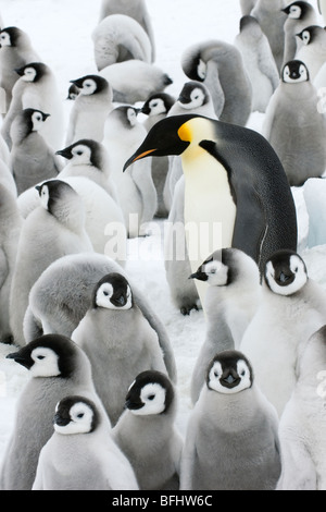 Adult emperor penguin (Aptenodytes forsteri) and chicks, Snow Hill Island, Antarctic Peninsula - Stock Photo