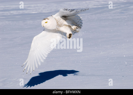 Hunting snowy owl (Bubo scandiaca), prairie Alberta, Canada - Stock Photo