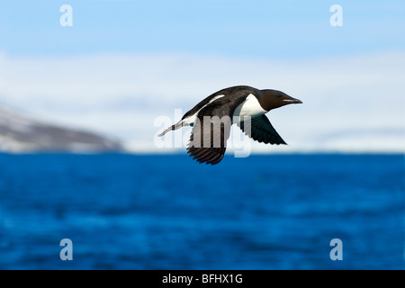 Adult thick-billed murre (Uria lomvia) leaving its nesting cliff, Svalbard Archipelago, Arctic Norway - Stock Photo