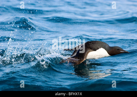 Adult thick-billed murre (Uria lomvia) taking off from surface of sea near its nesting cliff Svalbard Archipelago - Stock Photo