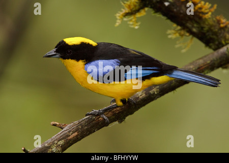 A Blue-winged Mountain Tanager (Anisognathus somptuosus) perched on a branch in the Tandayapa Valley in Ecuador. - Stock Photo