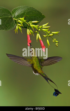 A male Booted Racket-tail hummingbird (Ocreatus underwoodii) flying and feeding at a flower in the Tandayapa Valley - Stock Photo