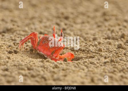 A crab on the beach on the coast of Ecuador. - Stock Photo