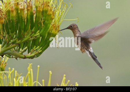 Giant Hummingbird (Patagona gigas) feeding at a flowering plant near Quito in the highlands of central Ecuador. - Stock Photo