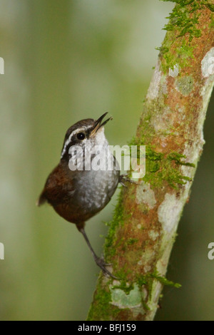 A Gray-breasted Wood Wren (Henicorhina leucophrys) perched on a branch in the Tandayapa Valley of Ecuador. - Stock Photo