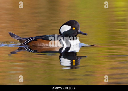 Hooded Merganser (Lophodytes cucullatus) swimming on a pond in Victoria, BC, Canada. - Stock Photo