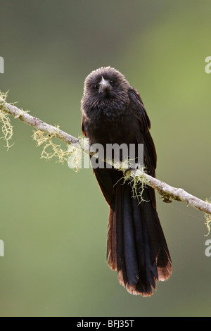Smooth-billed Ani (Crotophaga ani) perched on a branch near Podocarpus National Park in southeast Ecuador. - Stock Photo
