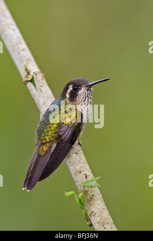 Speckled Hummingbird (Adelomyia melanogenys) perched on a branch in the Tandayapa Valley of Ecuador. - Stock Photo