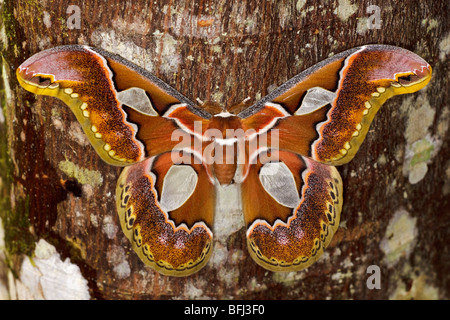 A large moth perched on a tree trunk in the Tandayapa Valley of Ecuador. - Stock Photo