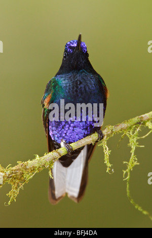 Velvet-purple Coronet (Boissonneaua jardini) perched on a branch at the Mindo Loma  reserve in northwest Ecuador. - Stock Photo