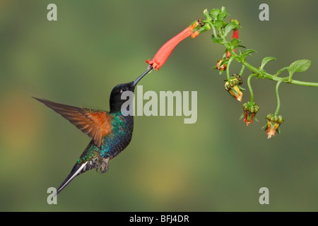 Velvet-purple Coronet (Boissonneaua jardini) feeding at a flower while flying at the Mindo Loma  reserve in northwest - Stock Photo