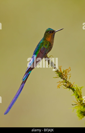 A male Violet-tailed Sylph (Aglaiocercus coelestis) perched on a branch in the Tandayapa Valley in Ecuador. - Stock Photo