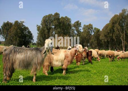 Israel, Sharon region, goats and sheep in Park Hasharon - Stock Photo