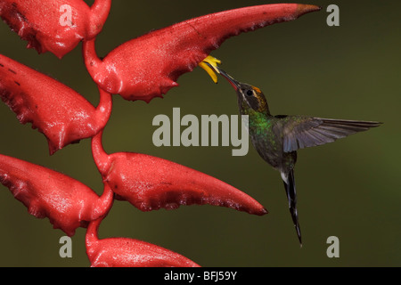 White-whiskered Hermit (Phaethornis yaruqui) feeding at a flower while flying in the Milpe reserve in northwest - Stock Photo