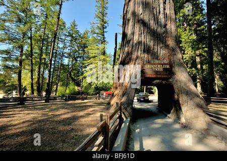 Car through chandelier tree in coastal redwood forest ; North ...