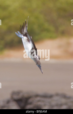 Blue-footed Booby (Sula nebouxii) searching for food while flying along the coast of Ecuador. - Stock Photo