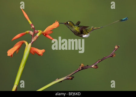 A Booted Racket-tail hummingbird (Ocreatus underwoodii) feeding at a flower while flying in the Tandayapa Valley - Stock Photo