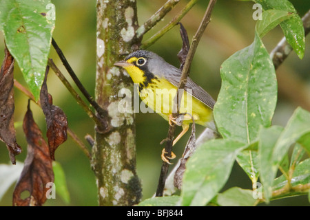 A migratory Canada Warbler (Wilsonia canadensis) perched on a branch near Podocarpus National Park in southeast - Stock Photo