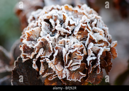 A dying mop head hydrangea covered in frost - Stock Photo