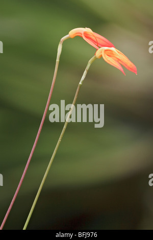 A beautiful orchid flower in an Ecuadorian rainforest. - Stock Photo