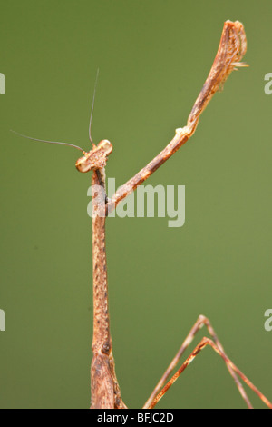A Praying Mantis speciesl in Podocarpus national Park in southeast Ecuador. - Stock Photo