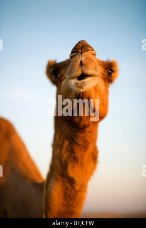 A camel in the desert, Oman. - Stock Photo