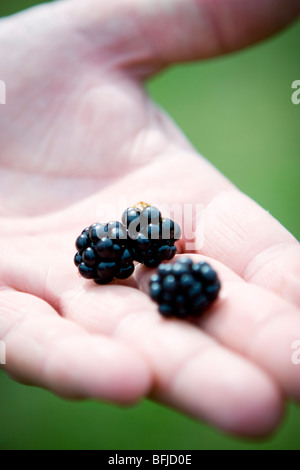 Three blackberries in the palm of someone¥s hand, Sweden. - Stock Photo