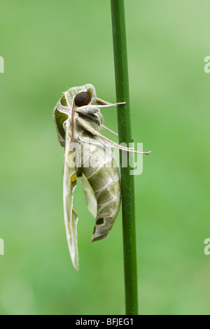 Daphnis nerii,. Oleander Hawk moth. resting on a plant stem. India - Stock Photo
