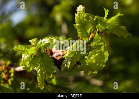 Young English oak leaves, Quercus robur - Stock Photo