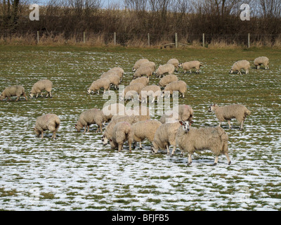 North Country mule ewe sheep in lamb on snowy pasture, Dorset - Stock Photo