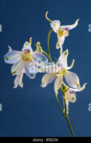 white delphinium flowers set against blue background in August - Stock Photo