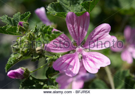 Wild mallow flower Brač island - (Malva), Croatia - Stock Photo