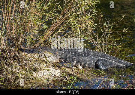 An American Alligator (Alligator mississippiensis) viewed from the Anhinga Trail, Royal Palm, Everglades National - Stock Photo