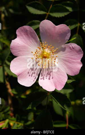 Pink wild dog rose flower (Rosa canina) - Brač island, Croatia - Stock Photo
