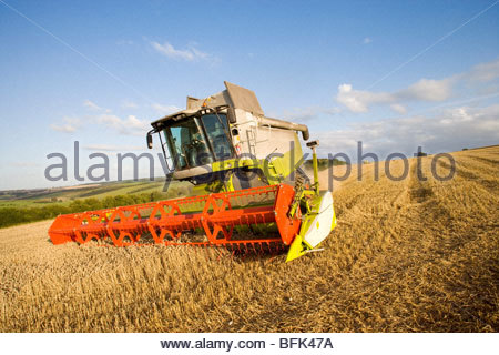 Combine harvesting wheat in sunny rural field - Stock Photo
