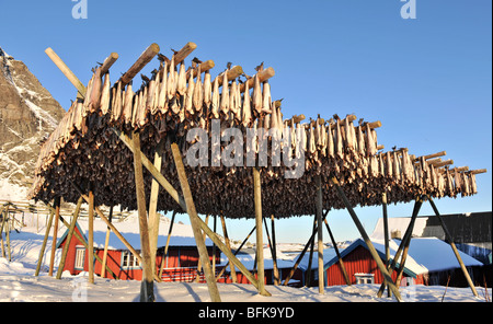 Cod hanging to dry on a fish rack, Å, A, in Lofoten islands. - Stock Photo
