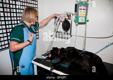 Anaesthetised Dog Being Monitored by a Veterinary Nurse - Stock Photo