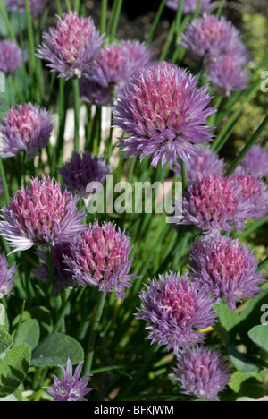 Chive blossoms in a home herb garden. - Stock Photo
