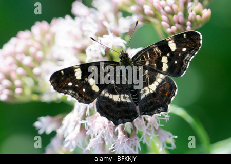 Map Butterfly (summer form) Araschnia levana. Forewing, Slovenia, August - Stock Photo