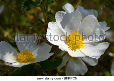Wild spring flowers - Wild white dog rose (Rosa canina) on Brač island, Croatia - Stock Photo