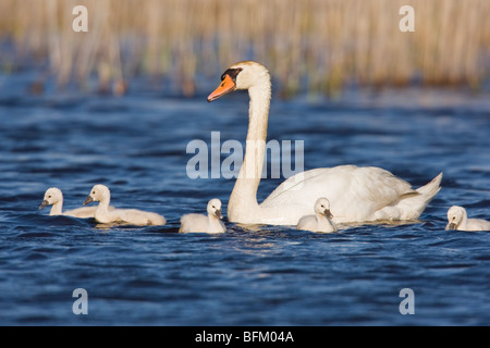 Mute Swan (Cygnus olor) with chicks - Stock Photo