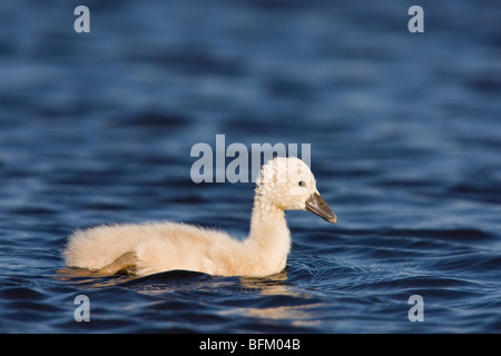 Mute Swan (Cygnus olor) chick - Stock Photo