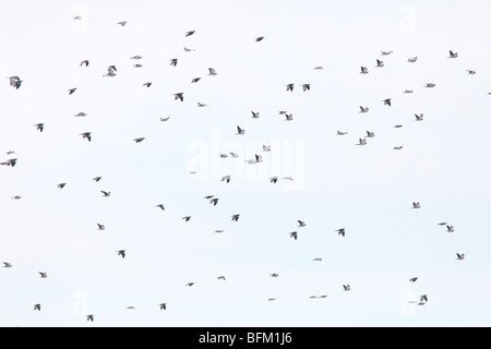 Large flocks of migratory Wood pigeons (Columba palumbus)  return to their breeding areas in northern Sweden. - Stock Photo